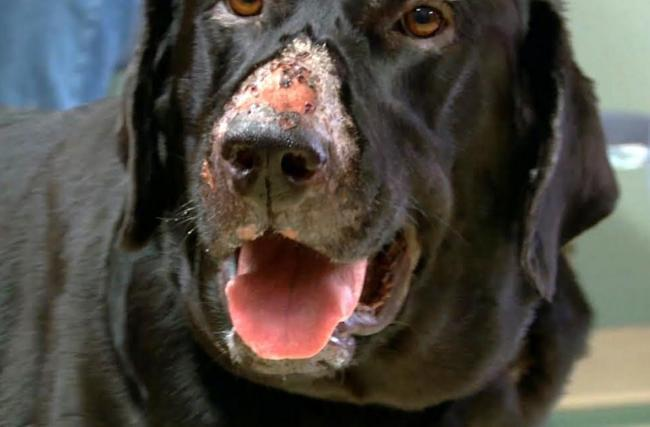 File photo of a dog with Alabama Rot, showing a typical skin lesion