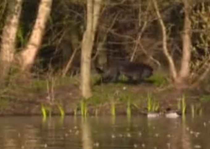 A zoomed in screengrab from GMB on Wednesday that some viewers believed to be a big cat. Credit: ITV