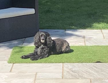Coco the Cockapoo has gone viral. Credit: Sarah Collins