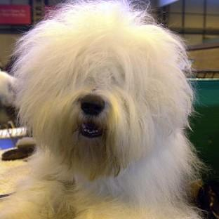 The old English sheepdog has been put on a watchlist of endangered dogs