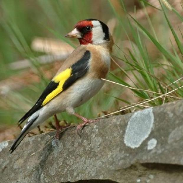 Hillingdon Times: Goldfinches are among many birds common in UK gardens.