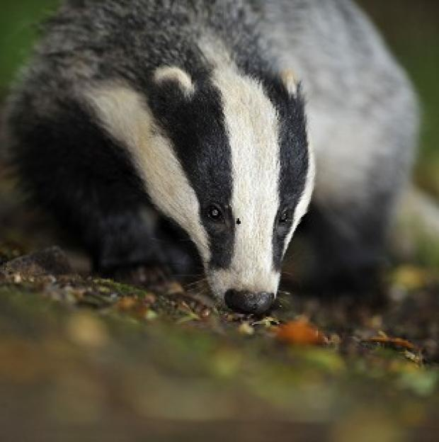 Hillingdon Times: Defra is exploring contraception for badgers as a way of keeping numbers down
