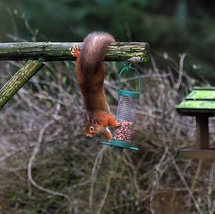Hillingdon Times: A Red Squirrel tries to take some nuts from a bird feeder in Kielder Forest, Northumberland