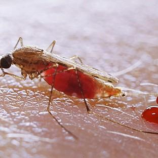 Dengue is a viral infection spread by mosquitoes