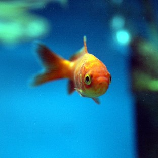 Man fined for swallowing goldfish