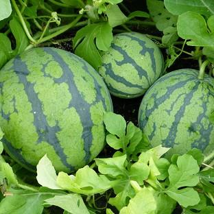 British-gown watermelons, produced by S&A Produce based in Marden, Hereford, will go on sale this week