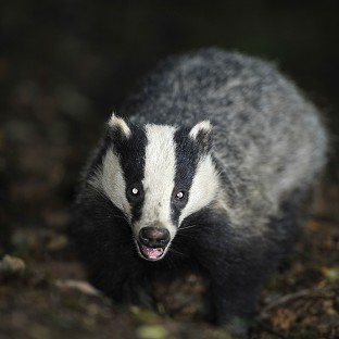 Defra 'seeks to sack badger panel'